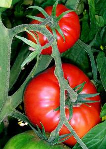 tomato-intro