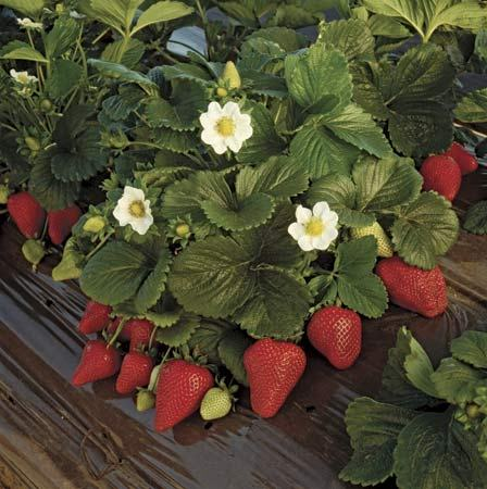 How to grow strawberries of the harvest - Plant strawberries spring ...